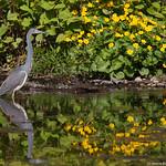 Heron in the spring