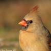 Cardinal pride